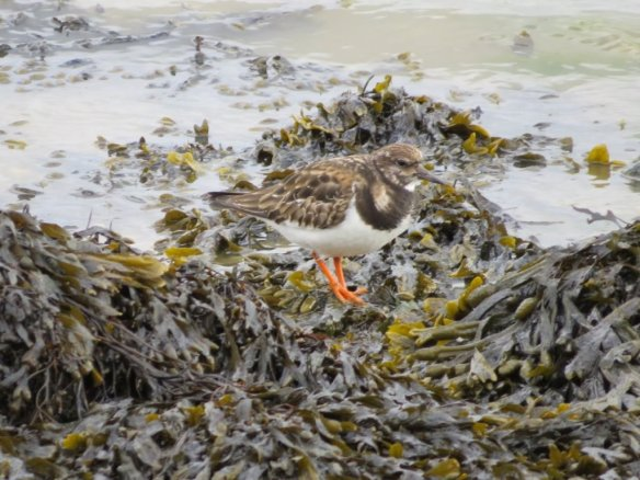 turnstone-by-martin-roberts